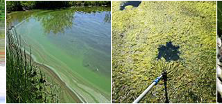 harmful algae blooms